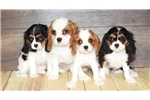 Picture of Kate our Female Cavalier,WWW.SUNRISEPUPS.COM
