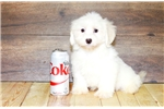 Picture of Jeremy our male Havanese, WWW.SUNRISEPUPS.COM
