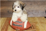 Picture of Jonas our male Havanese,WWW.SUNRISEPUPS.COM