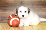 Picture of Eric our Male Havanese,WWW.SUNRISEPUPS.COM