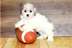 Picture of Katie our female Havanese,WWW.SUNRISEPUPS.COM