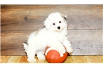 Picture of Kenley our female Havanese,WWW.SUNRISEPUPS.COM