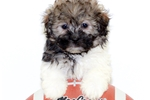 Malti Poo - Maltipoo for sale