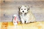 Picture of David our male Havanese,WWW.SUNRISEPUPS.COM