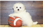 Picture of Teddy our male Malshi,WWW.SUNRISEPUPS.COM