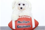 Picture of Lilly our female Maltese,WWW.SUNRISEPUPS.COM