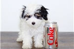 Picture of Johnny our male Maltipoo,WWW.SUNRISEPUPS.COM