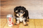 Picture of Charlie our male Morkie,WWW.SUNRISEPUPS.COM