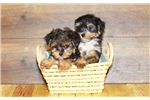 Picture of Samantha our female Morkie,WWW.SUNRISEPUPS.COM
