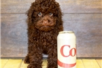 Picture of Jack our male Toy Poodle,WWW.SUNRISEPUPS.COM