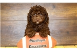 Picture of Lacy our female Toy Poodle,WWW.SUNRISEPUPS.COM
