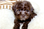 Picture of Reese our Toy Poodle,WWW.SUNRISEPUPS.COM