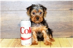 Josey our male Yorkie, WWW.SUNRISEPUPS.COM | Puppy at 13 weeks of age for sale