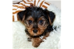 Picture of Jaycie our female Yorkie,WWW.SUNRISEPUPS.COM