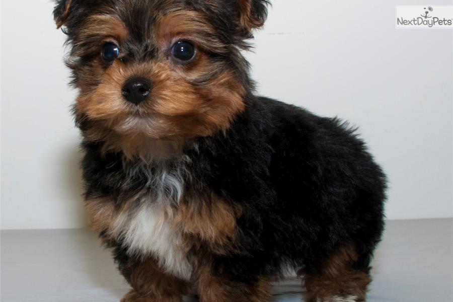 yorkiepoo   yorkie poo puppy for sale near columbus ohio