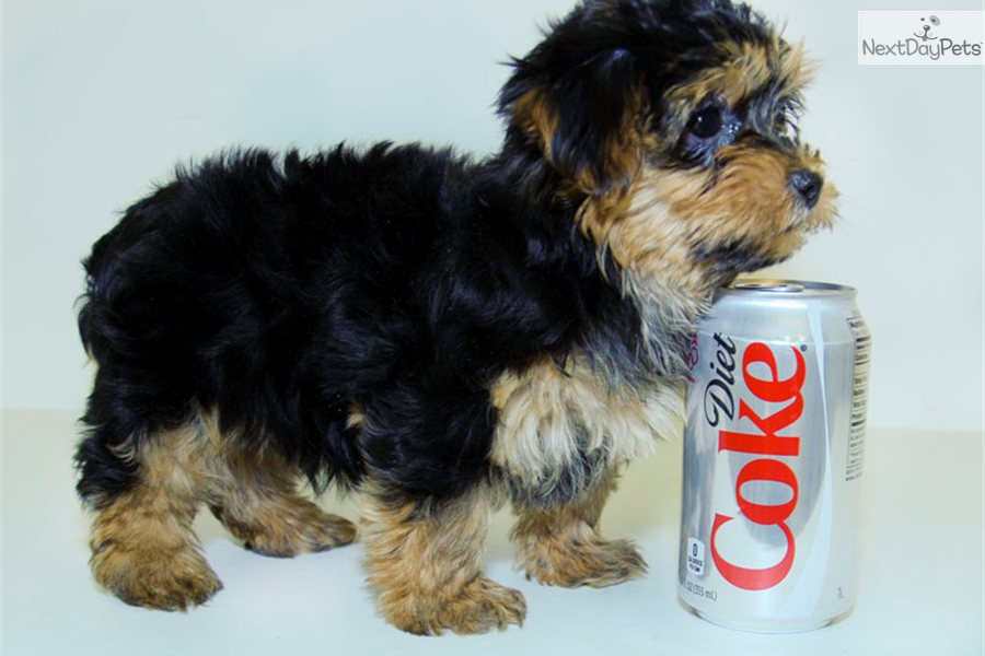 Useful topic Adult yorkie poo picture