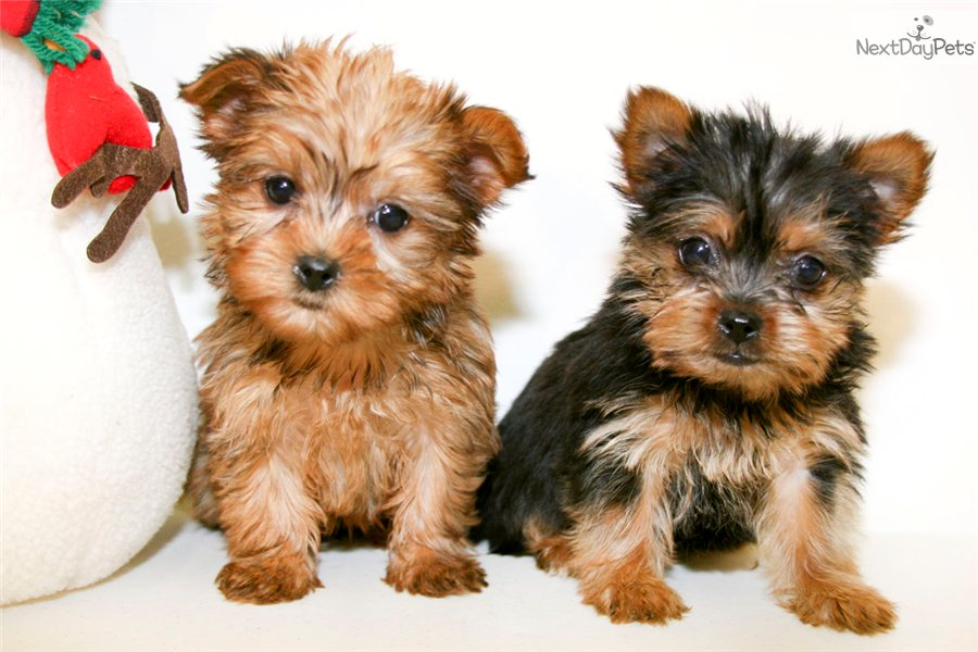 Yorkshire terrier full grown