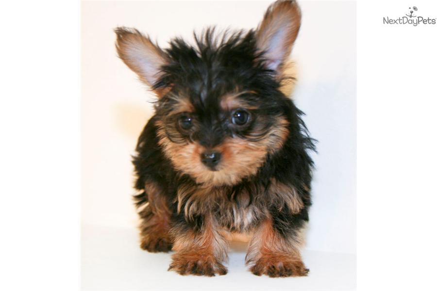 Meet Valentino Our Male Teacup Yorkie!