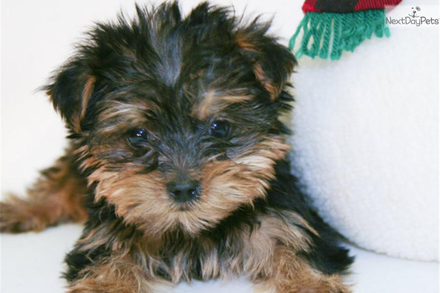 Meet Victor Our Male Teacup Yorkie!