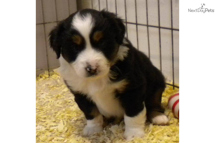 Miniature australian shepherd did you know apps directories