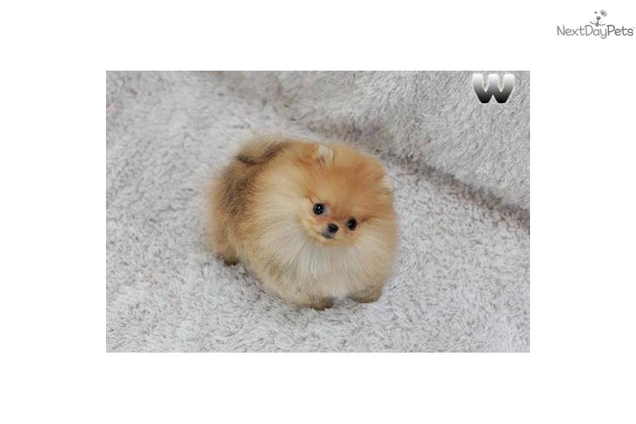Orange Sable Pomeranians Pictures | Male Models Picture