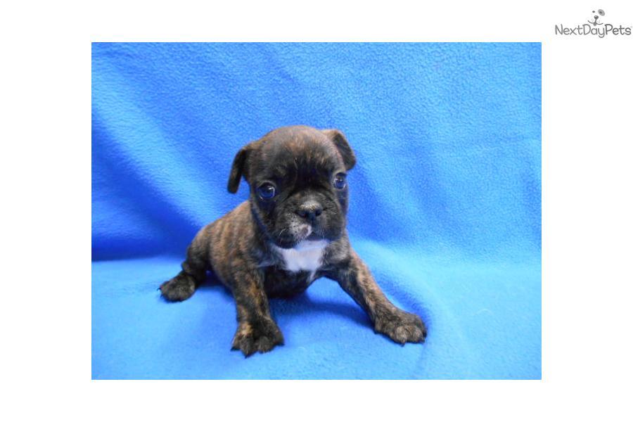 Brindle Male | French Bulldog puppy for sale near Inland ...