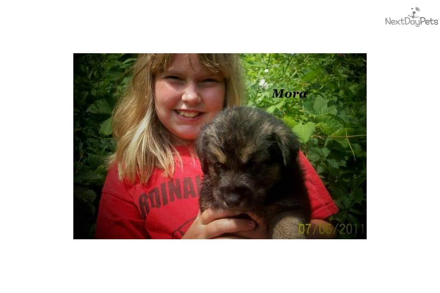 Pomsky Puppies For Sale Baltimore Md   Dog Breeds Picture