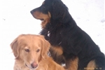 Picture of Hovawart Puppies!  Raised in home with children