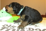Picture of AKC Elba Blue Collar
