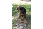 Picture of AKC Airedale Terrier