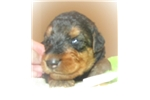 Picture of AKC Ian Red Collar
