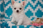 Picture of Snow White Long Coat Applehead Chihuahua boy