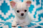 Picture of Beautiful Apple Head Cream Long Coat Chihuahua