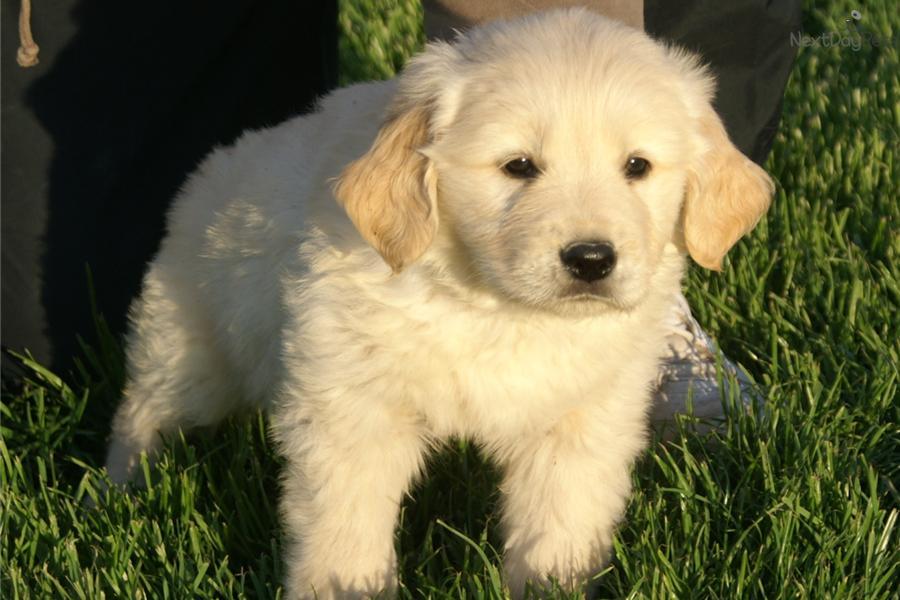 Meet Tommy Tan Collar A Cute Golden Retriever Puppy For