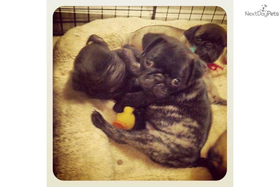 rare-beautiful-brindle-male-pug-puppy-akcdog-pug-puppy-1c7b8e66-ad0f