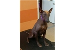 Xoloitzcuintli for sale