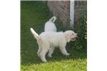 Picture of AKC Registered male