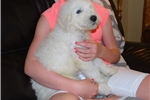 Picture of AKC registered Komondor female puppy