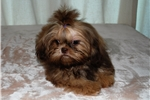 Picture of AKC stunning Imperial baby boy