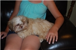 Picture of AKC SOLID CREAM baby boy