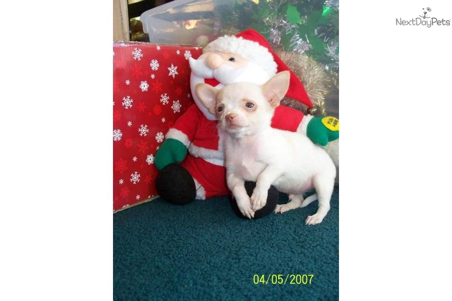 Dogs for Sale Puppies for Sale  Terrific Pets