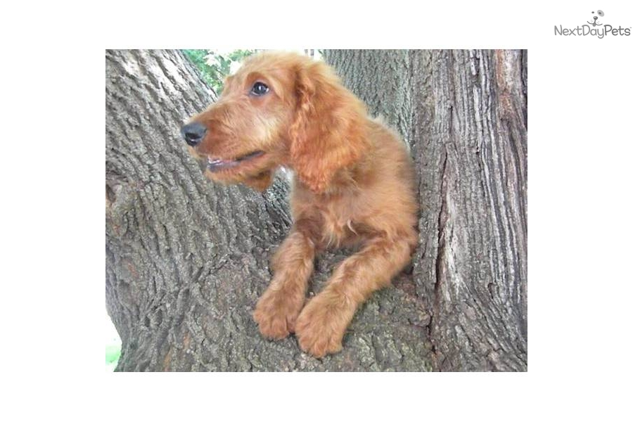 Irish Doodle Puppies For Sale In Wisconsin | Dog Breeds ...