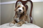 Irishdoodle for sale