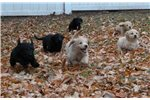 Featured Breeder of Irishdoodles with Puppies For Sale