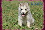 Picture of WARNING! CUTENESS OVERLOAD--SIBERIAN HUSKY PUPPIES