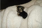 Picture of Adorable Tiny Tiny Male Morkie
