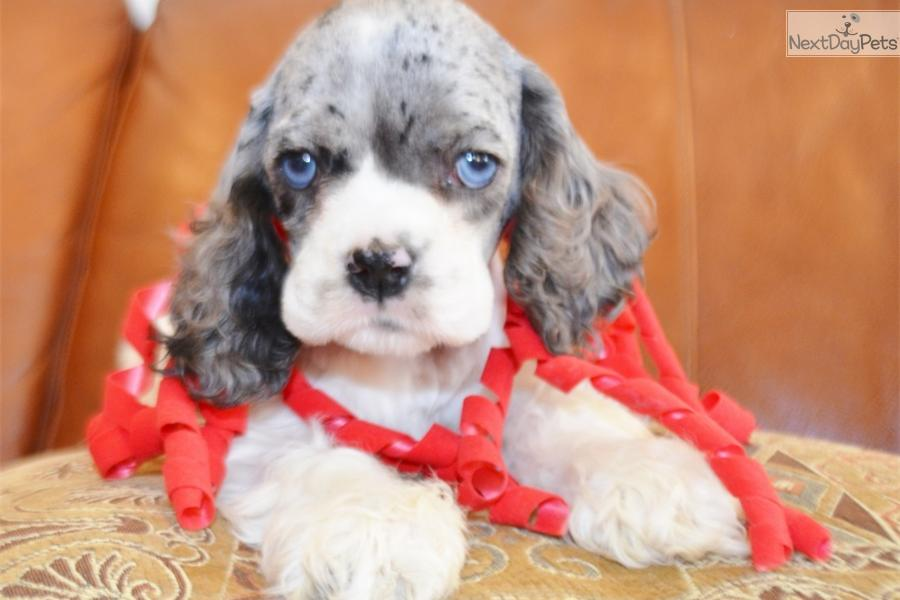 video  meet brittany a cute cocker spaniel puppy for sale for  900   u0026 39 brittany u0026 39  blue merle cocker