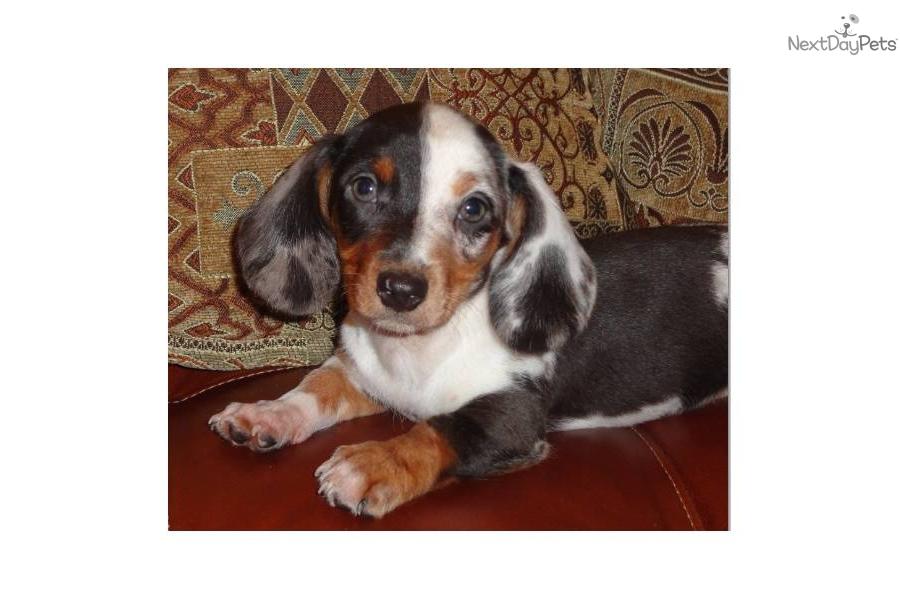 ... chocolate dapple piebald dachshund puppydog dachshund mini puppy