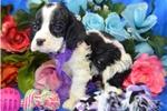 Picture of 'Cookie' AKC Black/White Cocker Spaniel Puppy