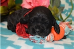 Picture of 'Sparky' Black Tan Cocker Spaniel Puppy, AKC
